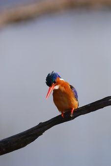 Free Kingfisher Stock Image - 17670281