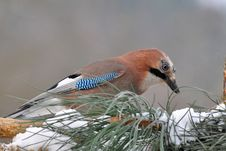 Free Beautiful Jay Bird Stock Photos - 17670303