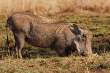 Free Warthog Stock Image - 17670351