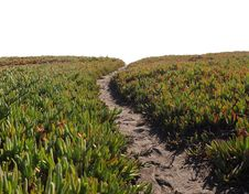 Ice Plant Field With Dirt Pathway Stock Image