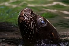 Free Sea Lion Stock Image - 17671381