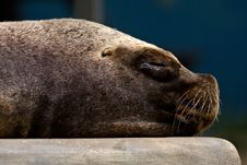Free Sea Lion Royalty Free Stock Photography - 17671417