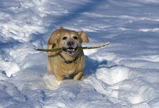 Free Labrador Retriever Stock Images - 17672874