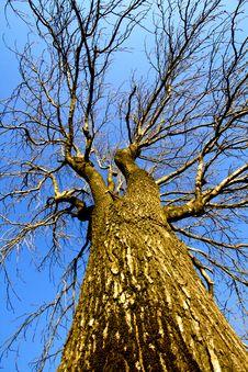 Free Bare Tree Royalty Free Stock Photography - 17673337