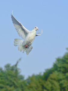 Free White Dove In Free Flight Royalty Free Stock Images - 17674949