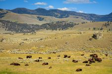 Free Bison Herd Resting In Little America Stock Images - 17675774