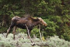Free Wounded Moose Royalty Free Stock Photo - 17675785