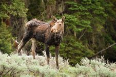 Free Moose Cow Royalty Free Stock Photo - 17675835