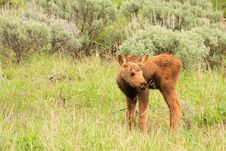Free Moose Calf In Field Of Sagebrush Royalty Free Stock Photography - 17675847