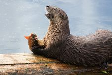 River Otter Feeding On Cutthroat Trout Stock Images