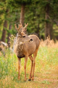 Free Mule Deer Portrait Royalty Free Stock Photos - 17675978