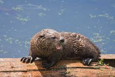 Free Baby River Otter Showing Teeth Stock Photos - 17676053
