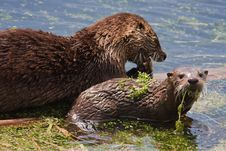 Free River Otters Covered In Aquatic Plants Royalty Free Stock Image - 17676066