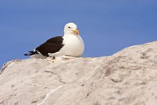 Free Seagull Royalty Free Stock Photography - 17676147