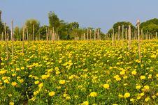 Free Marigold Stock Image - 17676371