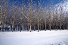 Free Cluster Of Trees In A Snow Covered Field In This W Stock Photo - 17676580