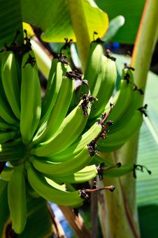 Free Banana Plant Detail Royalty Free Stock Photography - 17676597