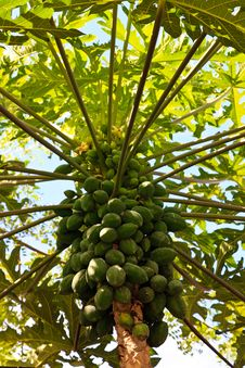 Papayas On The Trunk Of A Papaya Tree Royalty Free Stock Image