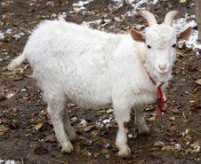 Free Goat Royalty Free Stock Image - 17676876