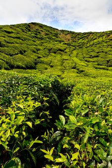 Free Tea Plantation In The Cameron Highlands Royalty Free Stock Photography - 17677007