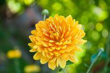 Free Golden-daisy Royalty Free Stock Photo - 17677045