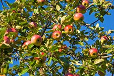 Apple-tree Branches Royalty Free Stock Images