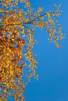 Free Autumn Birch Branch Stock Photo - 17677280