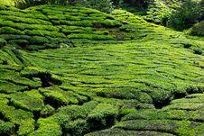 Free Tea Plantation In The Cameron Highlands Stock Photos - 17677283