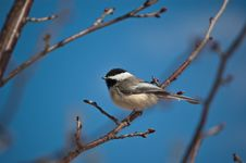 Black-Capped Chickadee Eating A Seed. Stock Image