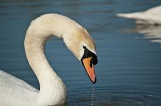 Free Mute Swan Profile Royalty Free Stock Photos - 17677458