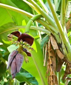 Banana Blossom And Bunch On Tree Royalty Free Stock Photography