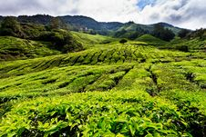Free Tea Plantation In The Cameron Highlands Stock Image - 17677891
