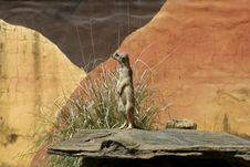 Free African Meerkat Royalty Free Stock Photo - 17677915