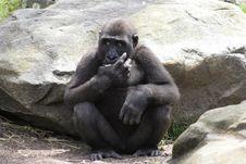 Free Western Lowland Gorilla Royalty Free Stock Photo - 17678235