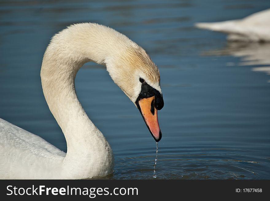 Mute Swan Profile