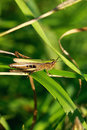 Free Grasshopper In The Grass Royalty Free Stock Photography - 17686027