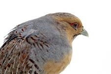 Free Variegated Fins Partridge Royalty Free Stock Image - 17680356