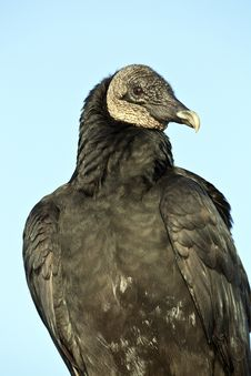 Free Black Vulture (Coragyps Atratus) Stock Image - 17680751