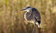 Free Great Blue Heron (ardea Herodias) Royalty Free Stock Image - 17680756