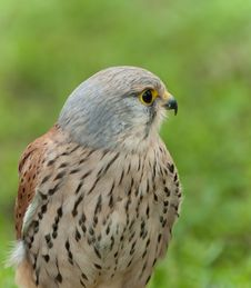 Free Common Kestrel (Falco Tinnunculus) Royalty Free Stock Photos - 17680758