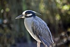 Free Yellow Crowned Night Heron (Nyctanassa Violacea) Royalty Free Stock Image - 17680776
