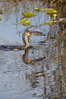 Great Cormorant (Phalacrocorax Carbo) Stock Images