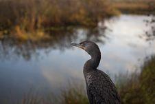 Great Cormorant (Phalacrocorax Carbo) Stock Image