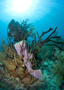 Free Coral Reef - Purple Vase Sponge Stock Photo - 17680880