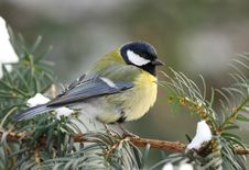 Free Great Tit On Fir Branch Stock Image - 17680901