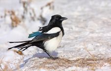 Free European Magpie Stock Photos - 17680923
