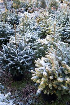 Free Seedlings Of Pines Stock Image - 17681461