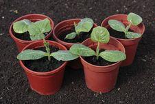 Free Vegetable Seedlings Closeup  In Pots Stock Photo - 17681600
