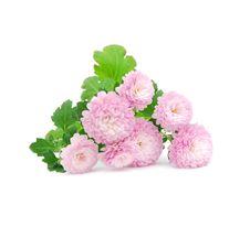 Free Daisy Flowers Stock Photo - 17681870