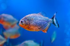 Free Colorful Fish Aquarium Royalty Free Stock Photo - 17682285